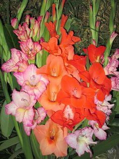 Raccontare un paese: dal mio orto: gladioli