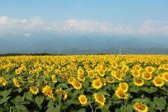 Festival de Girassóis em Yamanashi Imagine um campo repleto de girassóis, gerando um contraste do amarelo, verde e azul até o horizonte! Uma visão que com certeza vai surpreender os visitantes!