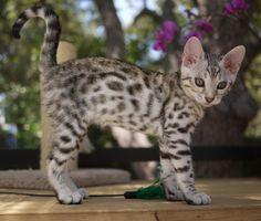 Adorable Silver Bengal kitten! @Brenda Miller