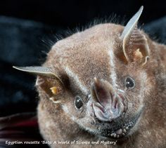 Great fruit-eating bat 'Bats: A World of Science and Mystery' All About Bats, Albino, Beautiful Creatures, Kangaroo, Mystery, Fruit, Animals, Egyptian, Muse