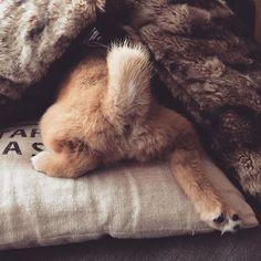 Abby Day10☆ 〜ふて寝〜 今朝は5時に目が覚めてー 🐓のまねして鳴いてみたらー おっかない かーしゃん とんできてー また また また また おっこられてー ふて寝してたら 二度寝してー 気付いたら朝ねぼうー あたしに夢中な あ〜の子はー あいさつなしに いっちゃったー🐶(°̴̥̥̥̥̃♜°̴̥̥̥̥̃ ) #shibastagram#dogstagram #pupstagram #puppy #west_dog_japan #shibainupuppy #shibainu #shiba #shibapuppy #animal#dog#sleepover #cute#柴犬#柴犬子犬#犬#子犬#しばいぬ#犬バカ部 #abby🐕#二度寝#@shiba_snap #Regram via @abby.1127