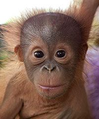 Have you voted for your favorite Orangutan in our Adopt-An-Ape program? Get your vote in now before time runs out!