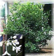 Got a whiff of a tea olive bush the other day. AMAZING. Going to rip out my gardenia by the front door and replace with this...