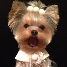 OMG a signing angel faced yorkie! Yorkies, Biewer Yorkie, Yorkie Puppy, Yorkshire Terrier Haircut, Yorkshire Terrier Puppies, Cute Puppies, Cute Dogs, Dogs And Puppies, Yorkie Cuts