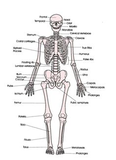 skeletal system skeleton diagram labeled specs price - 28 images - fes construction, fractures bone repair anatomy and physiology 2017 equine anatomy chart anatomy wall chart, sabe steel, barcharts skeletal system study guide human Human Skeleton Anatomy, Human Body Anatomy, Human Anatomy And Physiology, Muscle Anatomy, Human Skeleton Labeled, Skeleton Parts, Skeleton System, Body Joints, Human Body Systems