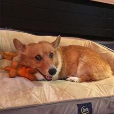 I like to bring my toys to bed with me. #dogbed #dogbeds #serta #sertadogbed #dogtoys #comfy #corgi #socute #cutedog #pembroke #pembrokewelshcorgi #threelegs #isosceles #sneakyface #happyface #happycorgi #corgicommunity #dogsofinstagram #buzzfeedanimals #buzzfeeddogs #buzzfeedcorgis #corgilove #corgiaddict #corgisgonnacorg #sunshinecorgirescue #rescue #adopted