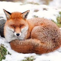 foxy fluff