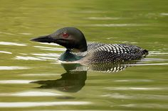 Common Loon and Reflection