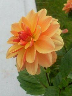 My Flower, Flower Power, Dahlia Flowers, Herbaceous Perennials, Zinnias, Back Gardens, Chrysanthemum, Orchids, Beautiful Flowers