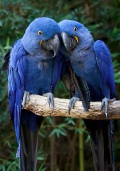"Hyacinth Macaws ~~""What do you think of that feather boa? Sould be throw a bucket of blood on her?"""