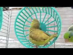 Green-Fallow Parrotlet + Toy Hamster Wheel - Parrotletbirds Cockatiel, Budgies, Parrots, Pacific Parrotlet, Diy Bird Toys, Feathered Dinosaurs, Hamster Wheel, Decorative Bird Houses, Sugar Gliders