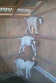 goat-caught-in-wilton-barn.jpg 795×1,186 pixels