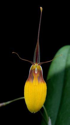 Miniature-Orchid: Restrepia brachypus amarilla - Flickr - Photo Sharing!