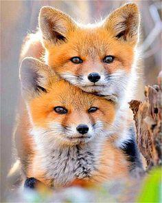 Red Fox Pet, Pet Fox, Nature Animals, Animals And Pets, Wild Animals, All Animals Photos, Beautiful Creatures, Animals Beautiful, Beautiful Beautiful