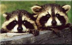 Baby Racoons (Animals) photo BabyRaccoons.jpg