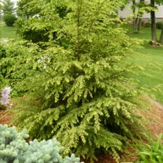 canadian hemlock | Pinned by Sweetwater Shed