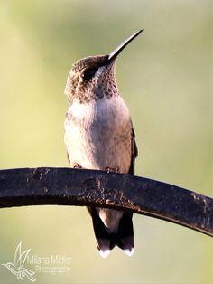 Hummingbird by Milana Midler