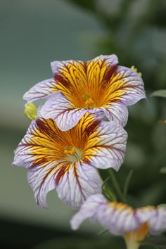 salpiglossis royale by casper1830