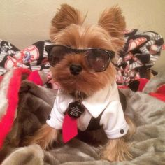 """""""Being cool isn't just the way you dress.....it's way you live!"""" #babygio #yorkie #yorkieboy #smooth by onebadenzogio"""