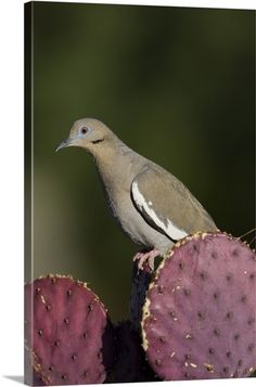 White-winged Dove on cactus, Green Valley, Arizona Green Valley Arizona, Lonesome Dove, Birds Of Paradise Flower, White Wings, Bird Watching, Bird Feathers, Watercolor Art, Cactus, Creatures