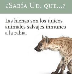 Fotos de Humor Gratis: las hienas son