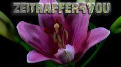Lilien Lilium Blooming Timelapse Zeitraffer
