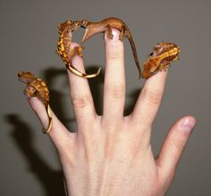The truth about dragons! -   a-f**king-nuisance says:  I was trying to get a photo of all of my baby crested geckos on my hand and I managed to get very lucky with my timing, this is quite possibly the funniest photo I've ever taken.