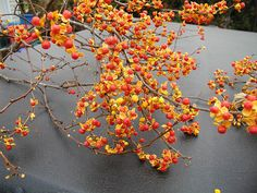 Fall - Bittersweet - Branches and Flowering Branches - Greens, Foliages and Branches - Flowers by category Fall Flowers, White Flowers, Wedding Flowers, Bouquet Flowers, Orange Flowers, Wedding Colors, Flower Branch, Fall Halloween, Bonito