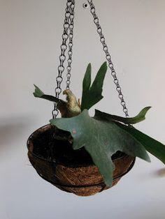 Hanging a Staghorn fern in a basket! <3