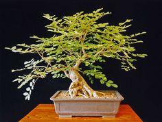 Ash Bonsai Tree (Fraxinus excelsior)