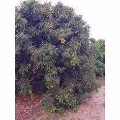 he expertise of our organization lies in cultivation of Litchi Plant. Litchi Plant offered by us bears litchis of excellent quality.