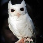 One of the more exciting new additions at Peace River Wildlife Center is our white screech owl. This little guy is not an albino, but is leucistic. An albino has a lack of melanin, the pigment that appears as black/brown color; although the cells that produce it, melanocytes, are still present. Some albino animals are pale yellow or orange because they have different pigments being produced other than black and brown. Read More -> http://peaceriverwildlifecenter.org/adopt-luna/
