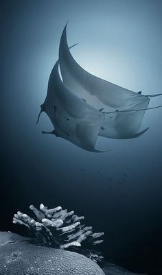 Manta Rays Win CITES Protection - along with selected shark species. Manta rays are listed as Vulnerable by the IUCN and are threatened by overfishing for traditional Chinese medicine.