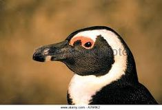 Image result for african penguin head African Penguin, Art Reference, Penguins, Profile, Friends, Animals, Image, User Profile, Amigos