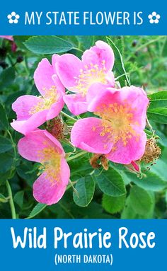 #NorthDakota's state flower is the Wild Prairie Rose. What's your state flower? http://pinterest.com/hometalk/hometalk-state-flowers/