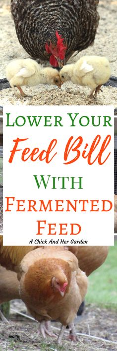 It's amazing how much fermented feed lowered our feed bill! I can't believe how much our chickens love it and how much healthier they are!  ##backyardchickens #chickens #raisingchickens #homestead #homesteading #fermentedfeed #poultry
