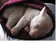 Wombats! A cute baby wombat!!!