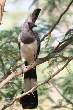 The White-bellied Go-away-bird (Corythaixoides leucogaster) is a widespread bird…