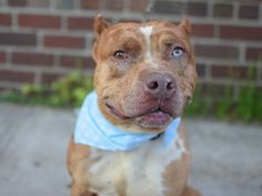 GONE 5/29/2015 --- Brooklyn Center KATIE – A1035059  FEMALE, BR MERLE / WHITE, CATAHOULA MIX, 2 yrs STRAY – STRAY WAIT, NO HOLD Reason STRAY Intake condition EXAM REQ Intake Date 05/02/2015
