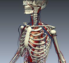 The cardiovascular system circulates blood from the heart to the lungs and around the body via blood vessels.<br />