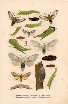 1915 Bee Hawk Moth Insect Lithograph Hemaris Cerura by Craftissimo, €14.00