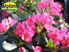 Rhododendron Tigerstedtii-gruppen 'Mauritz', rhododendron. Höjd: 1,1 m. Zon II(III).