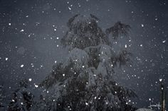 Big fir in the snow