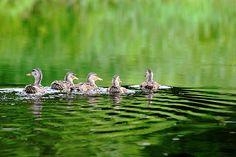 Hen Party - French River Ontario Canada #art #photography #ducks #birds #female