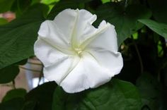 Barely opened moonflower growing in my yard a few years ago.