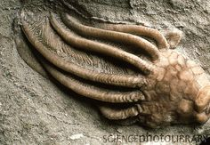 Close-up of a fossilized crinoid from rocks of the Carboniferous period. The…
