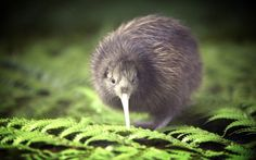 Kiwi, a small bird but it has the largest egg to mother ratio in nature. The egg takes up %20 of her mass at full term versus the %5 at full term of a human.