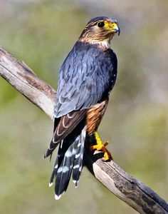 THE MERLIN: is a small species of falcon from the Northern Hemisphere, with numerous subspecies throughout North America and Eurasia. Pretty Birds, Beautiful Birds, Animals Beautiful, Beautiful Pictures, Animals And Pets, Funny Animals, Cute Animals, Merlin Bird, Colorful Birds