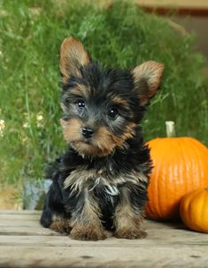 ❤️Meet Magnolia!! A perfectly soft fur and an amazing temperament, #YorkshireTerrier #puppy will make #awesome #Furbuddy. You'll be sure to fall in love with this #Charming lil tail-wag at first sight. • #Charming #PinterestPuppies #PuppiesOfPinterest #Puppy #Puppies #Pups #Pup #Funloving #Sweet #PuppyLove #Cute #Cuddly #Adorable #ForTheLoveOfADog #MansBestFriend #Animals #Dog #Pet #Pets #ChildrenFriendly #PuppyandChildren #ChildandPuppy #LancasterPuppies www.LancasterPuppies.com Lancaster Puppies, Yorkshire Terrier Puppies, Animals Dog, Fun Loving, Mans Best Friend, Puppy Love, Awesome, Amazing, Magnolia