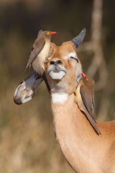Kruger National Park The Window to the African Wild - Red-billed oxpeckers remove ticks and fleas from an impala Nature Animals, Animals And Pets, Baby Animals, Funny Animals, Cute Animals, Wild Animals, Beautiful Creatures, Animals Beautiful, Beautiful Images